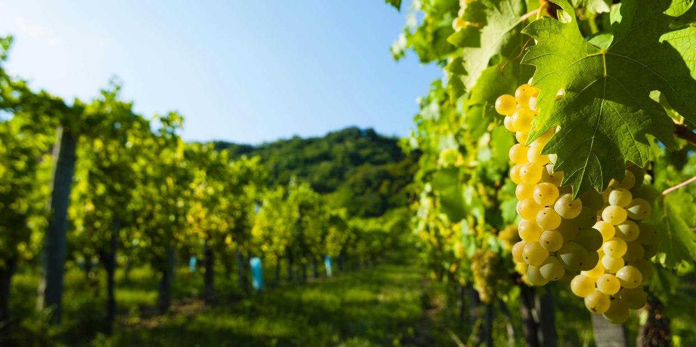 Ryzlink rýnský – víno králů