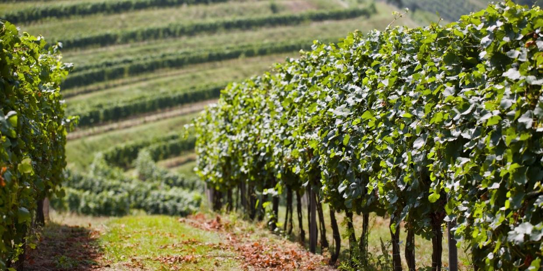 Vinařství Štěpánek