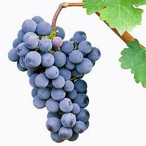 Rulandské modré / Pinot Noir